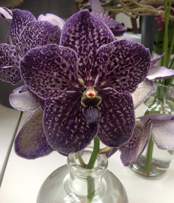 Keukenhof orchidee