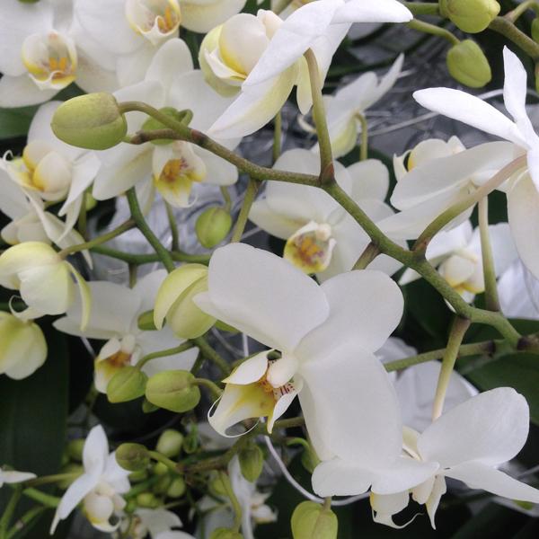 Keukenhof; witte orchidee