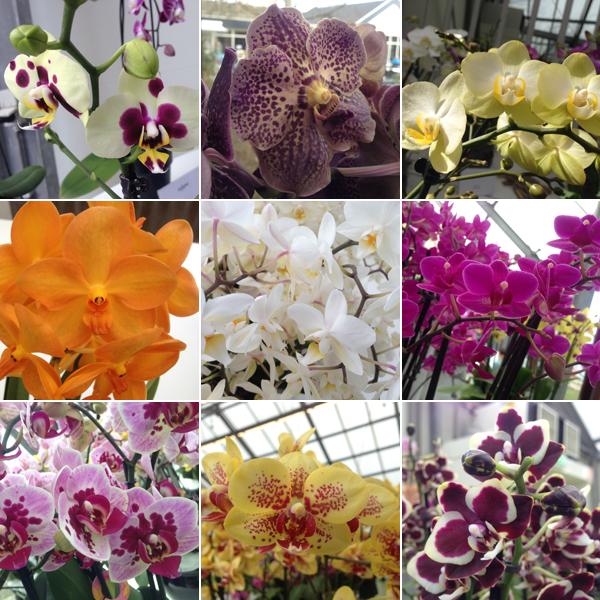 Orchideeën in de Keukenhof